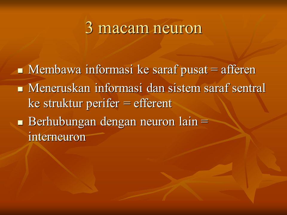 3 macam neuron Membawa informasi ke saraf pusat = afferen