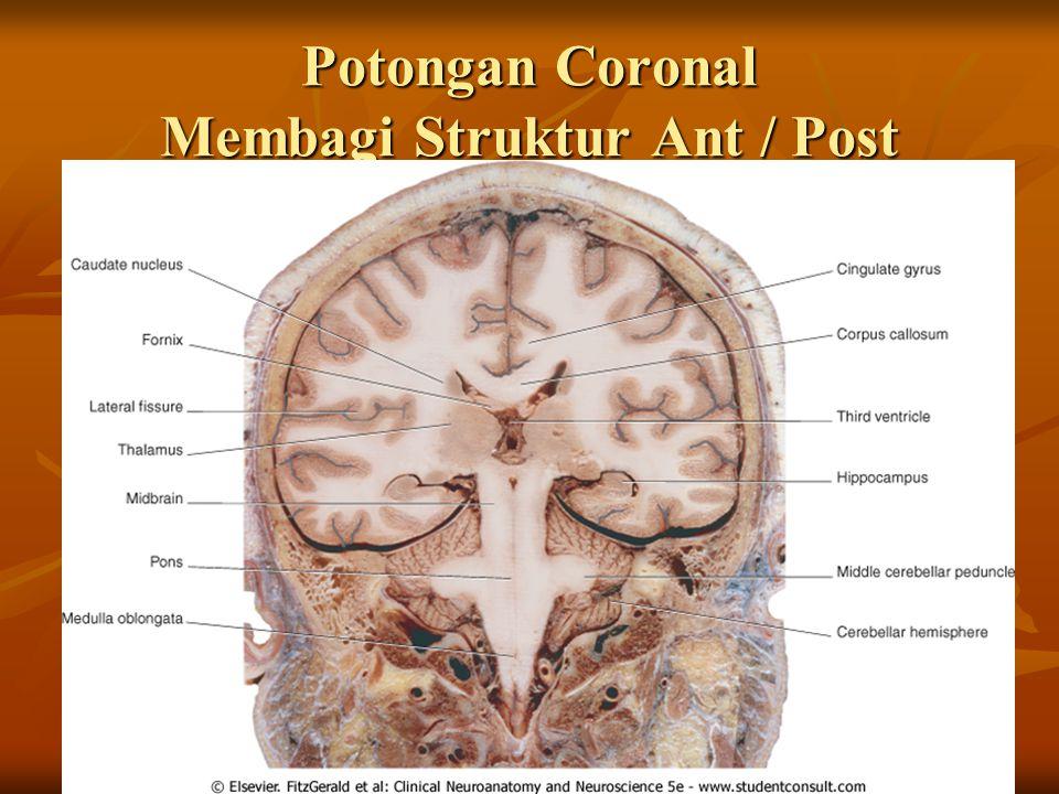 Potongan Coronal Membagi Struktur Ant / Post
