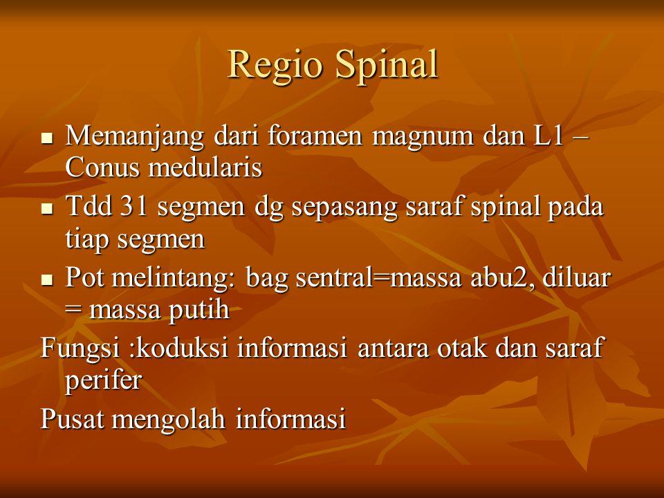 Regio Spinal Memanjang dari foramen magnum dan L1 – Conus medularis