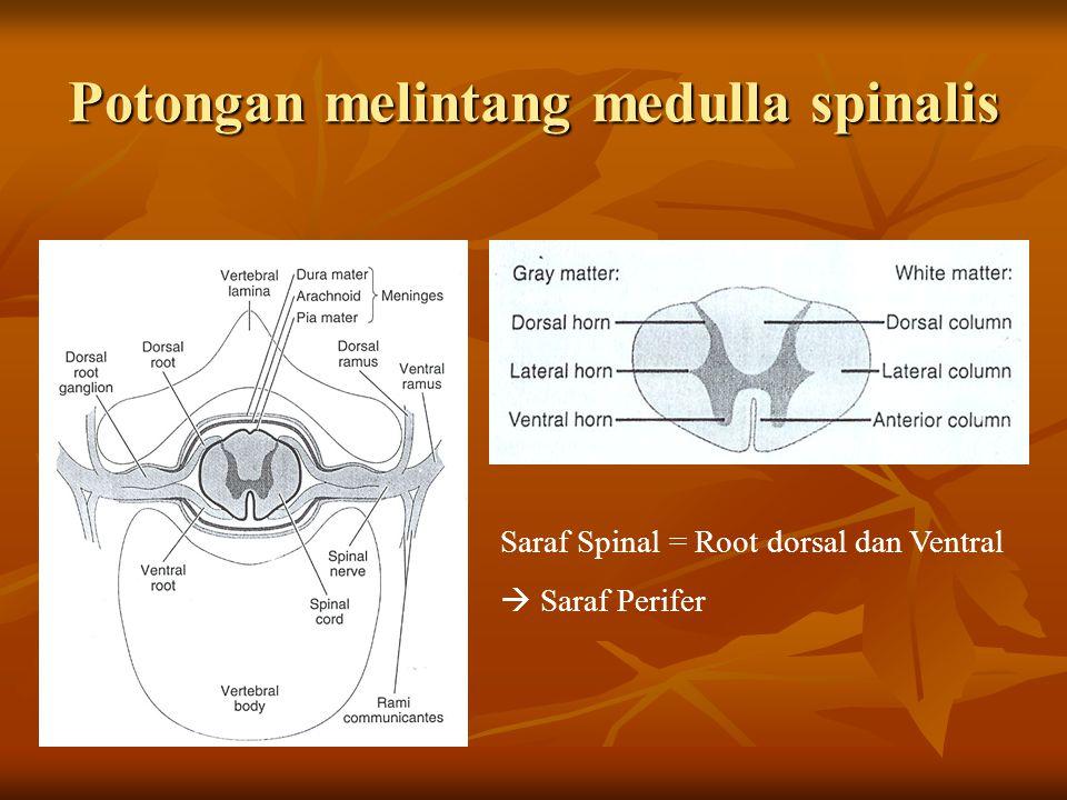Potongan melintang medulla spinalis