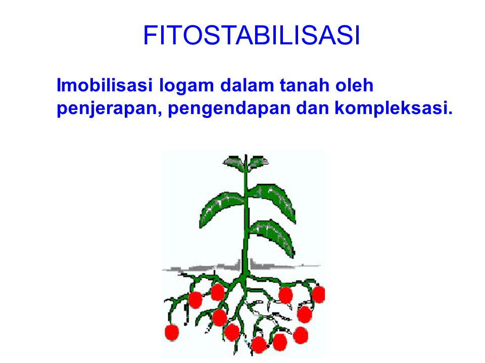 FITOSTABILISASI Imobilisasi logam dalam tanah oleh penjerapan, pengendapan dan kompleksasi.