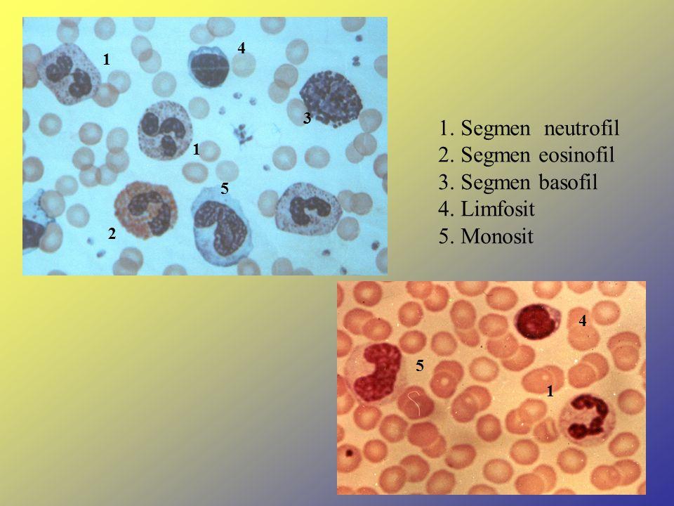1. Segmen neutrofil 2. Segmen eosinofil 3. Segmen basofil 4. Limfosit