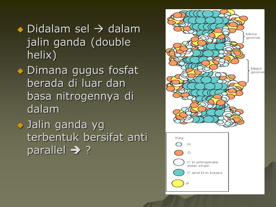 Didalam sel  dalam jalin ganda (double helix)
