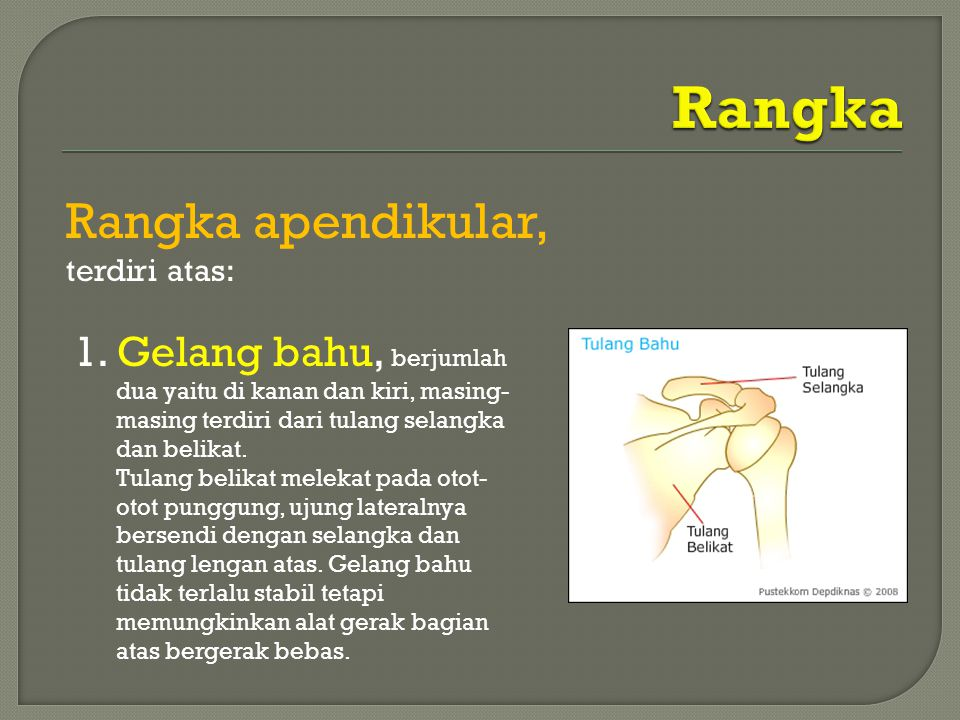 Rangka Rangka apendikular,