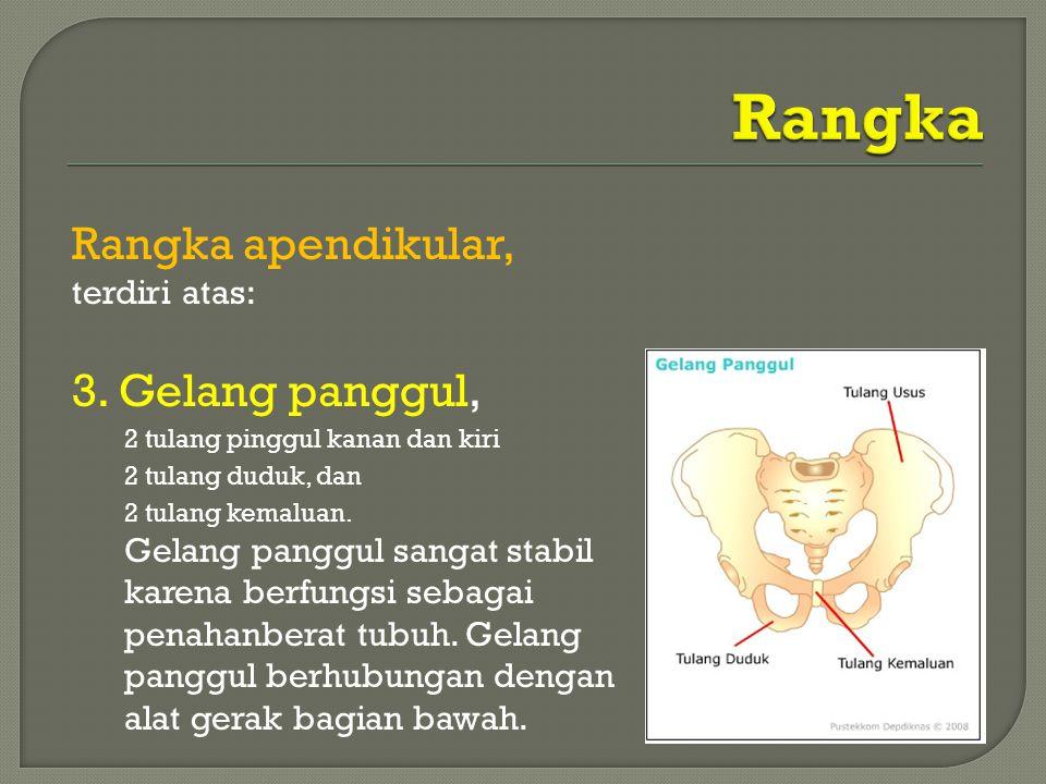 Rangka Rangka apendikular, 3. Gelang panggul, terdiri atas:
