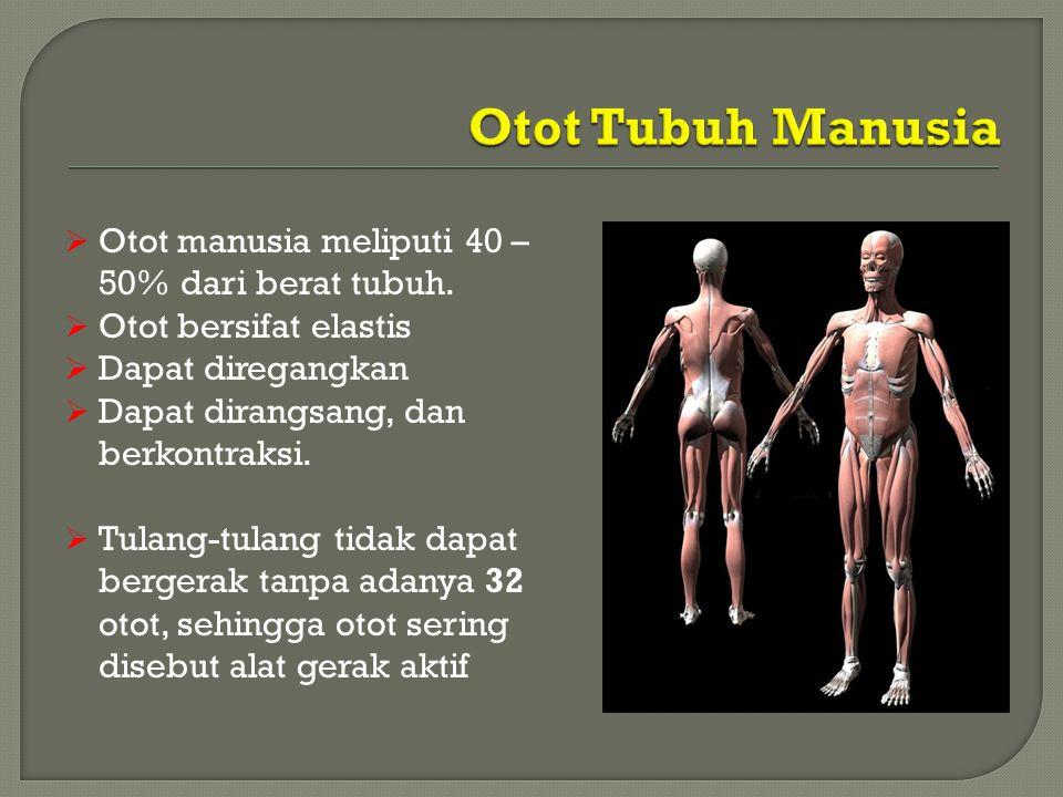 Otot Tubuh Manusia Otot manusia meliputi 40 – 50% dari berat tubuh.