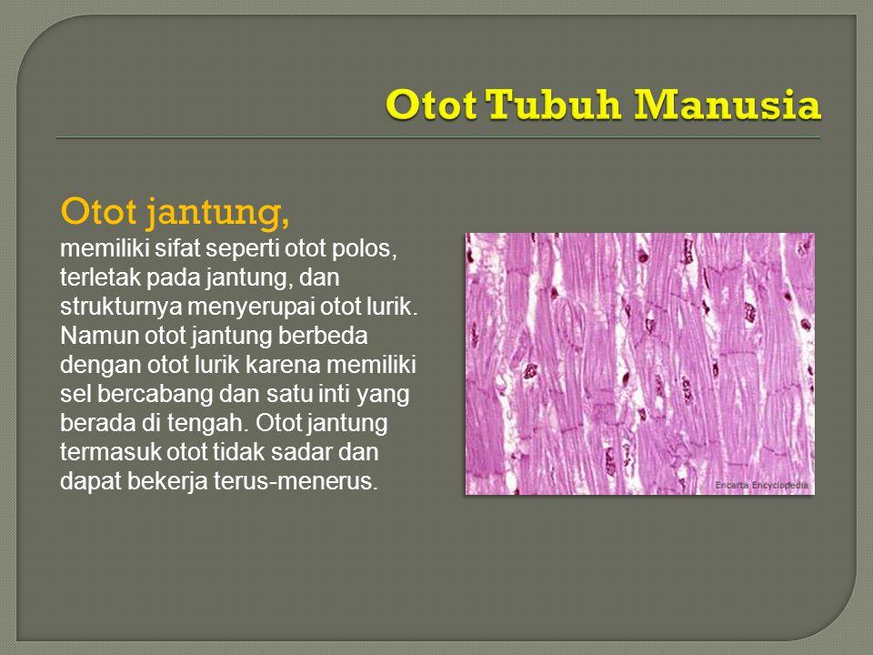 Otot Tubuh Manusia Otot jantung,