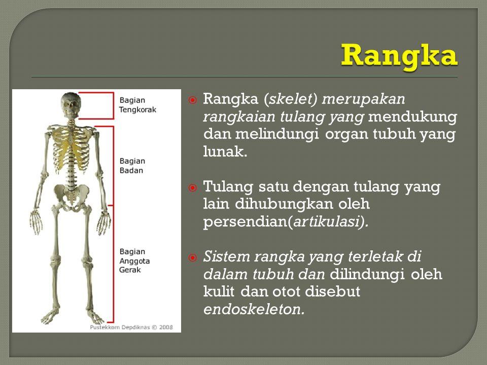 Rangka Rangka (skelet) merupakan rangkaian tulang yang mendukung dan melindungi organ tubuh yang lunak.