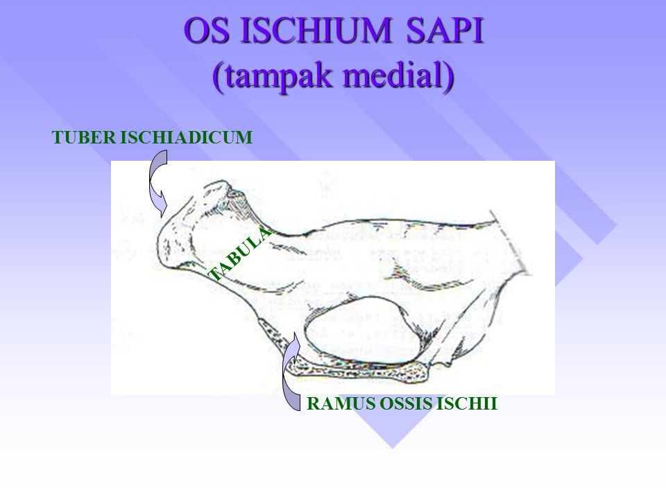 OS ISCHIUM SAPI (tampak medial)