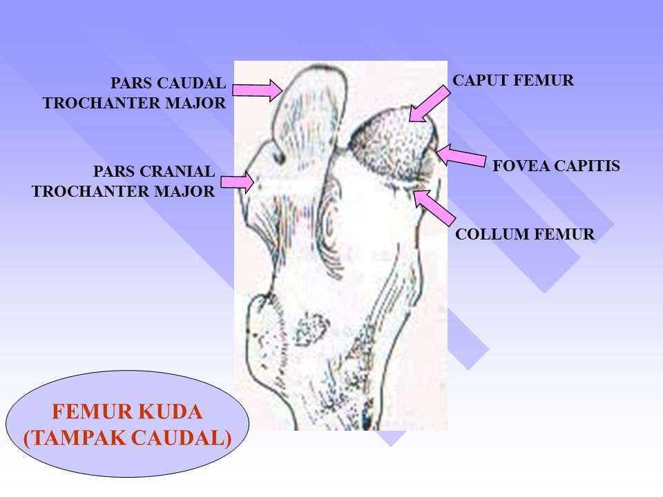 FEMUR KUDA (TAMPAK CAUDAL)