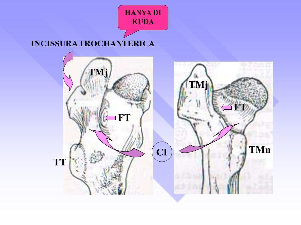 HANYA DI KUDA INCISSURA TROCHANTERICA TMj TMj FT FT TMn CI TT
