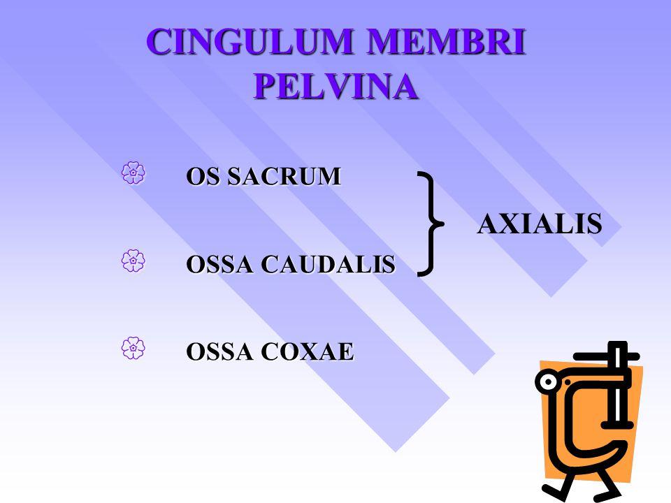 CINGULUM MEMBRI PELVINA