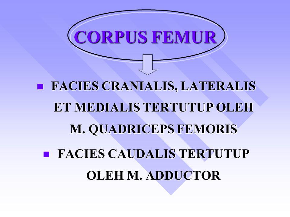 FACIES CAUDALIS TERTUTUP OLEH M. ADDUCTOR