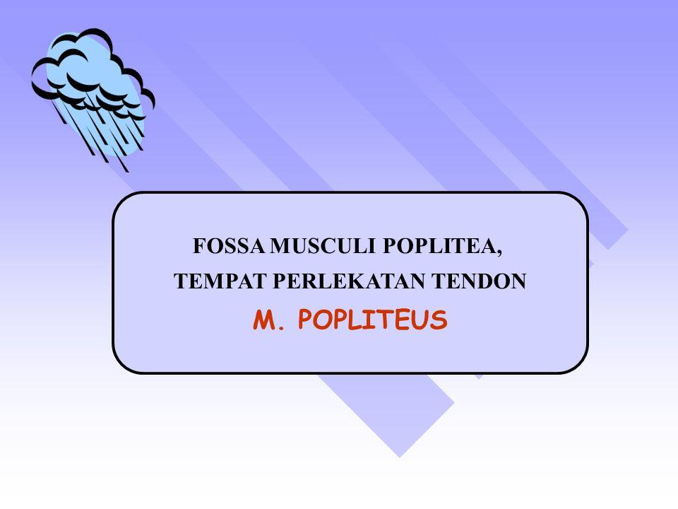 FOSSA MUSCULI POPLITEA, TEMPAT PERLEKATAN TENDON