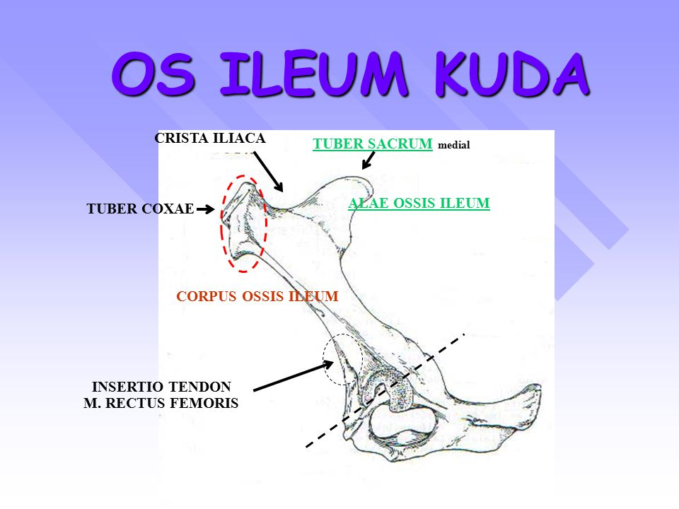 OS ILEUM KUDA CRISTA ILIACA TUBER SACRUM medial ALAE OSSIS ILEUM