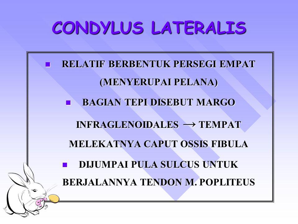 CONDYLUS LATERALIS RELATIF BERBENTUK PERSEGI EMPAT (MENYERUPAI PELANA)