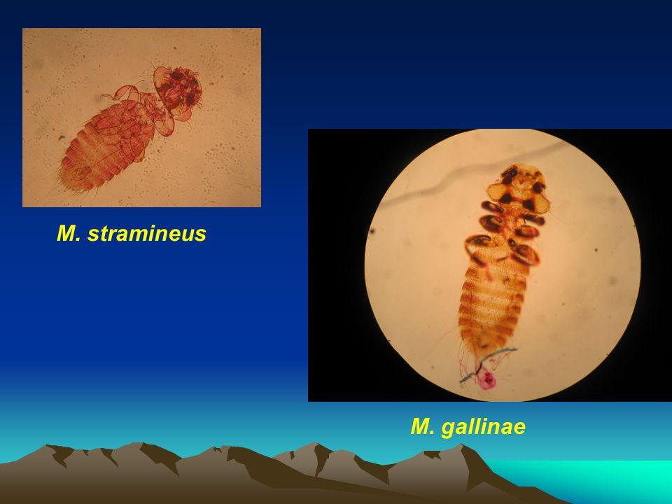 M. stramineus M. gallinae