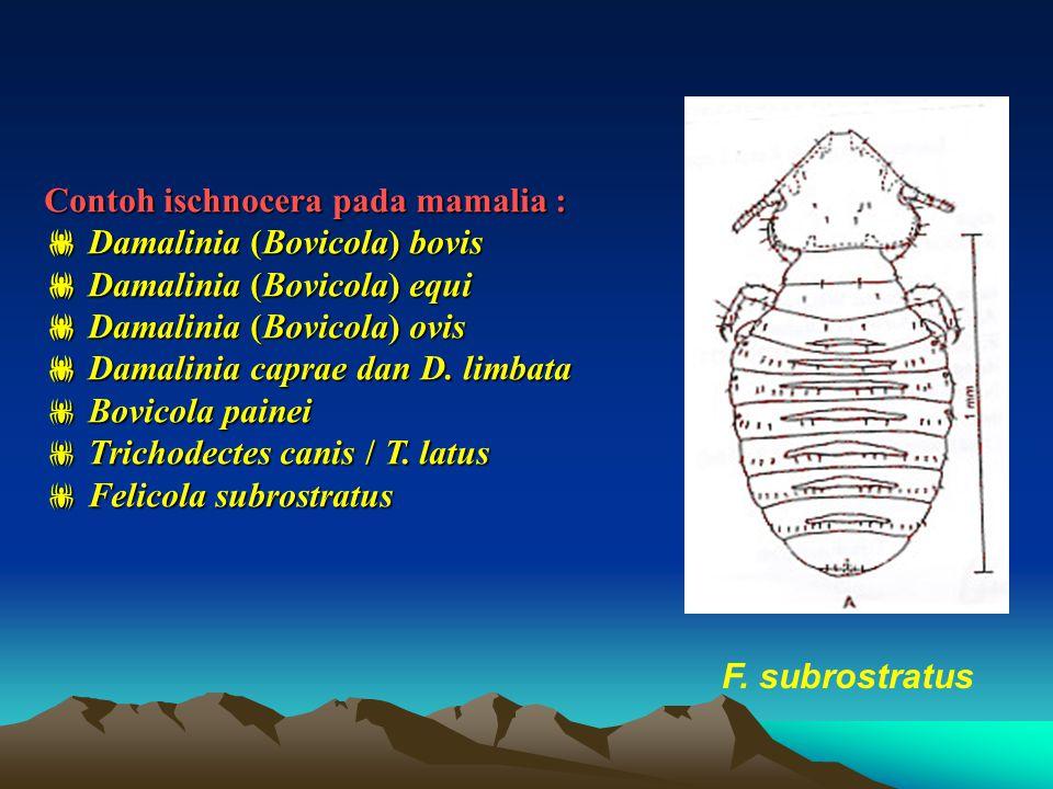 Contoh ischnocera pada mamalia :