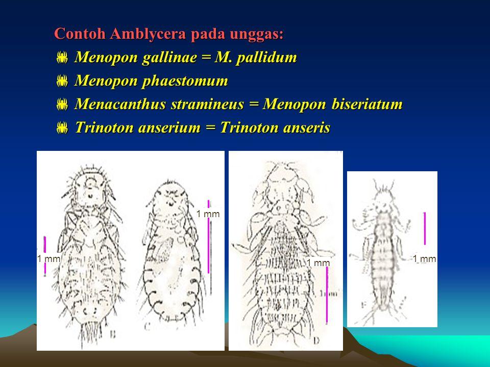 Contoh Amblycera pada unggas:  Menopon gallinae = M. pallidum