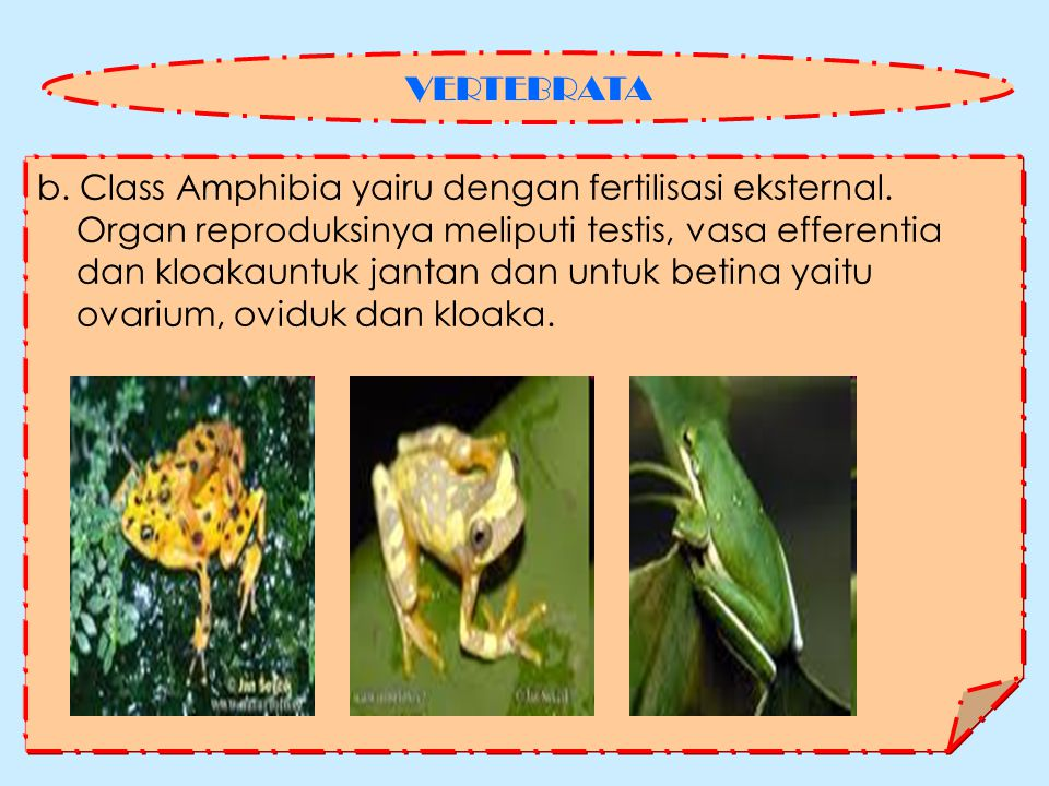 VERTEBRATA b. Class Amphibia yairu dengan fertilisasi eksternal. Organ reproduksinya meliputi testis, vasa efferentia.