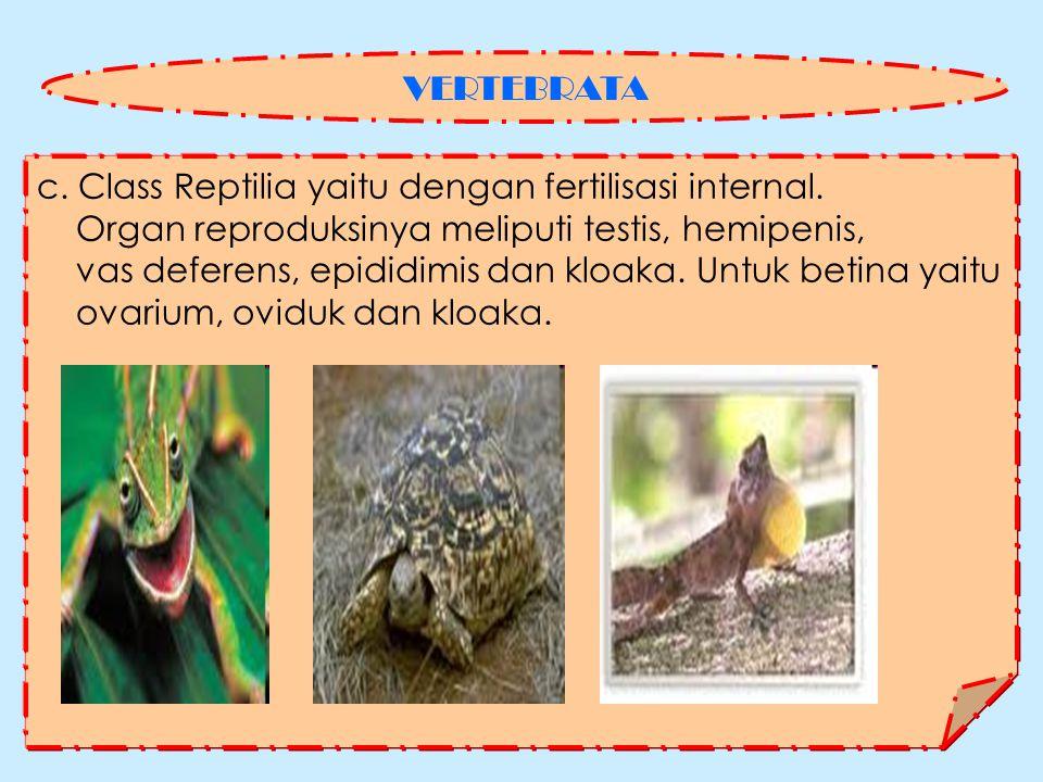 VERTEBRATA c. Class Reptilia yaitu dengan fertilisasi internal. Organ reproduksinya meliputi testis, hemipenis,