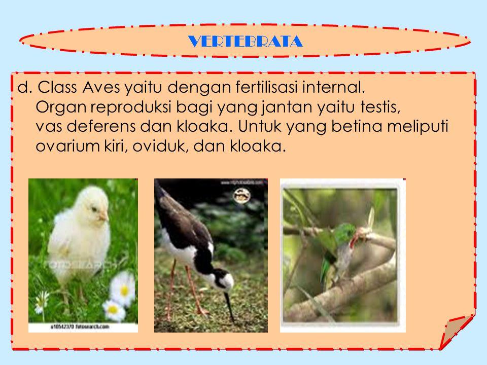 VERTEBRATA d. Class Aves yaitu dengan fertilisasi internal. Organ reproduksi bagi yang jantan yaitu testis,