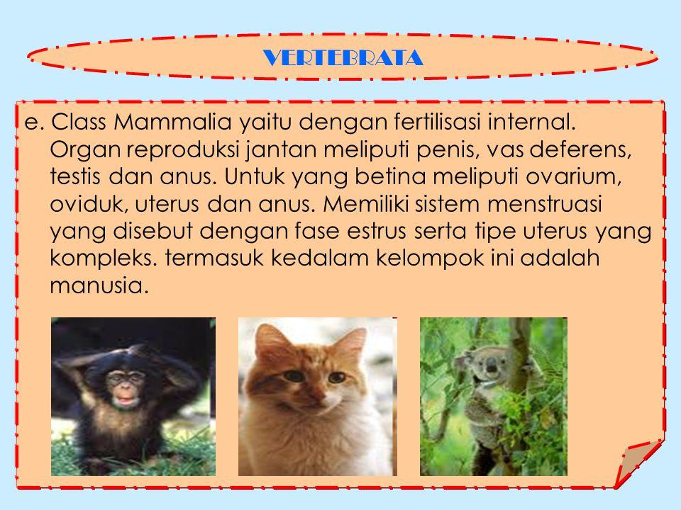 VERTEBRATA e. Class Mammalia yaitu dengan fertilisasi internal. Organ reproduksi jantan meliputi penis, vas deferens,