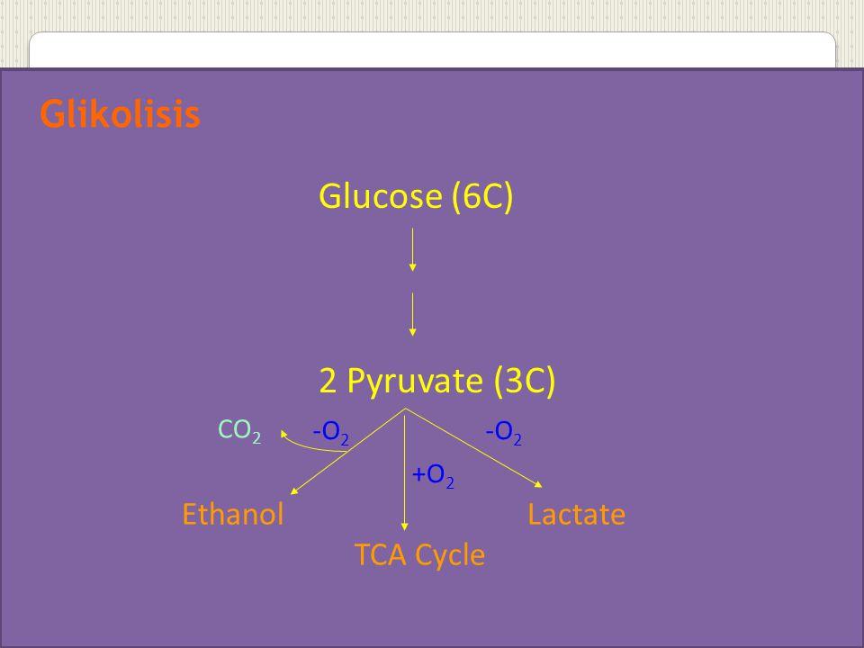 Glikolisis Glucose (6C) 2 Pyruvate (3C) Ethanol Lactate TCA Cycle CO2