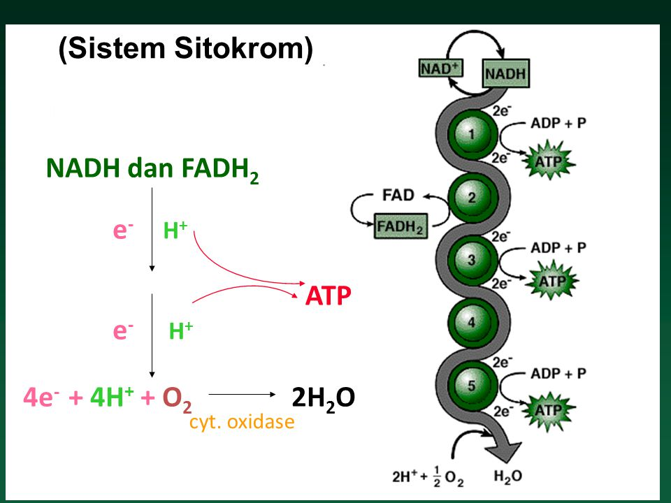 (Sistem Sitokrom) NADH dan FADH2 e- ATP e- 4e- + 4H+ + O2 2H2O H+ H+