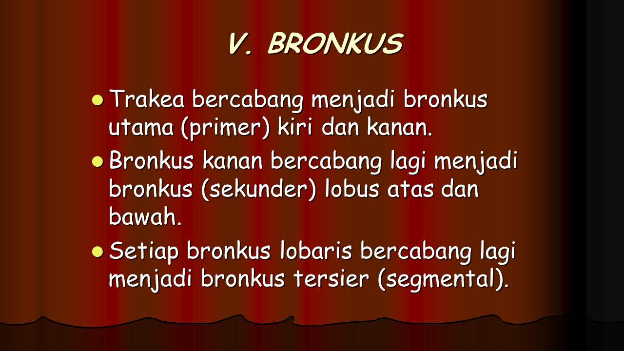 V. BRONKUS Trakea bercabang menjadi bronkus utama (primer) kiri dan kanan.