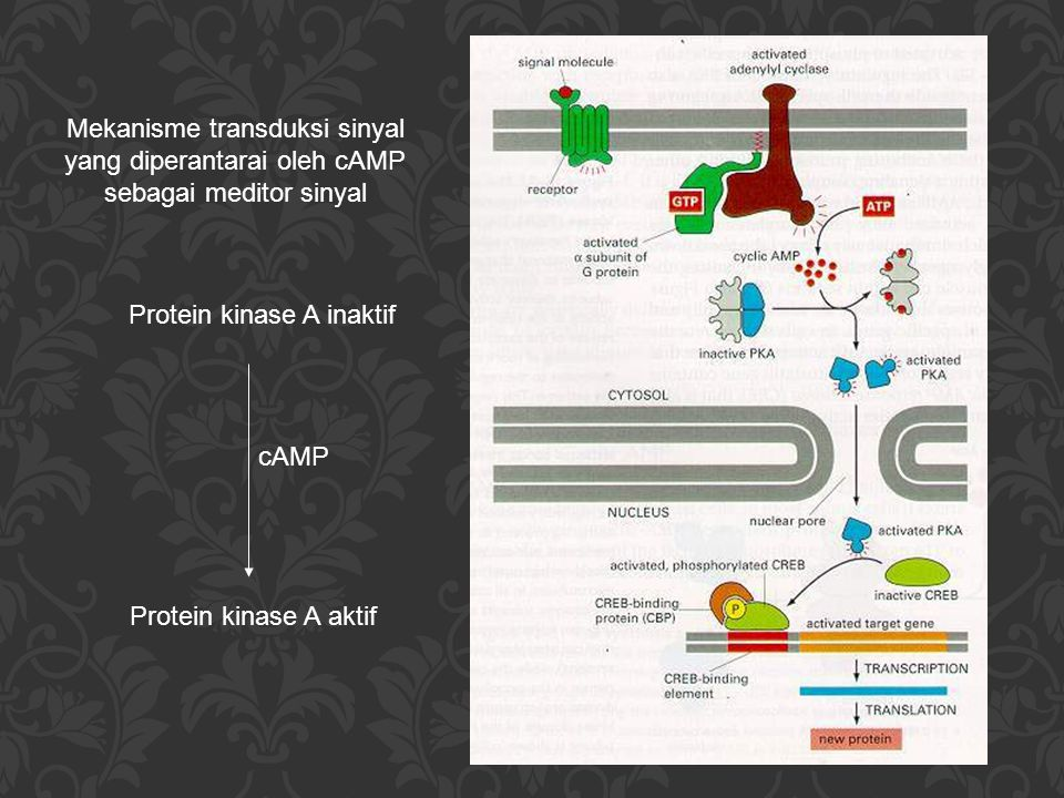 Protein kinase A inaktif
