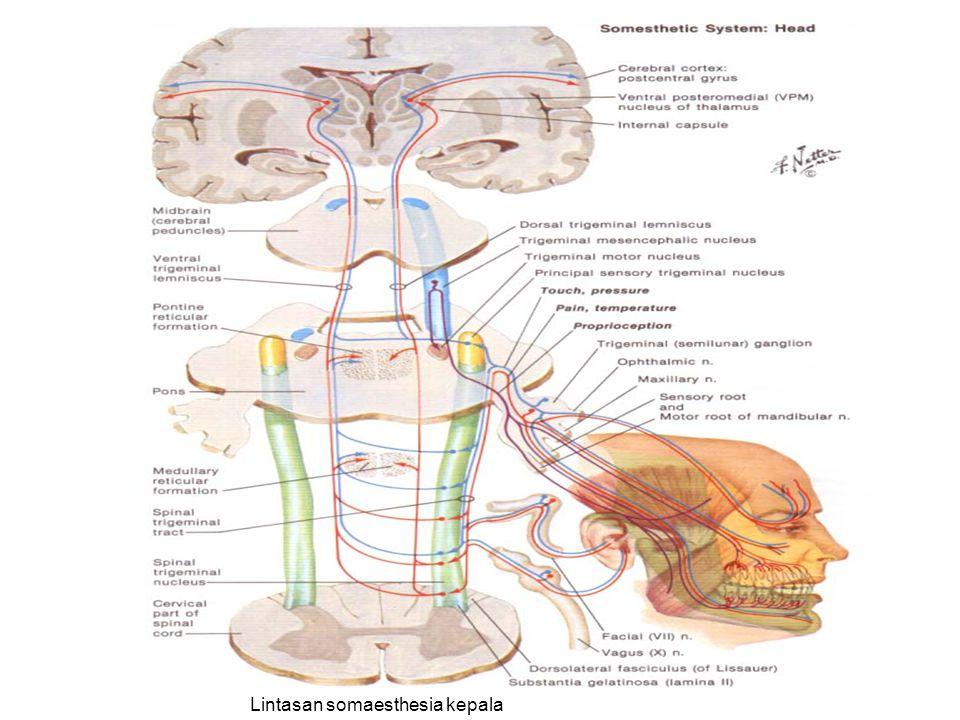Lintasan somaesthesia kepala