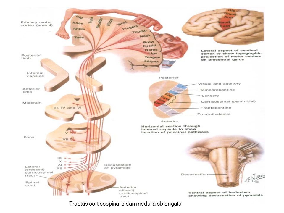 Tractus corticospinalis dan medulla oblongata