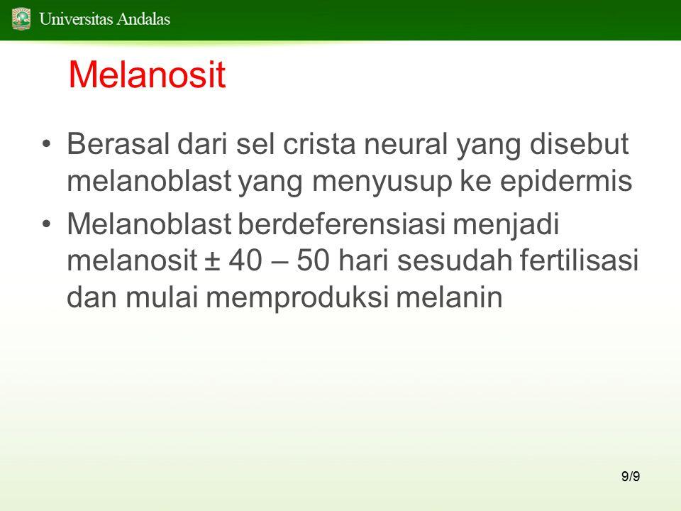 Melanosit Berasal dari sel crista neural yang disebut melanoblast yang menyusup ke epidermis.