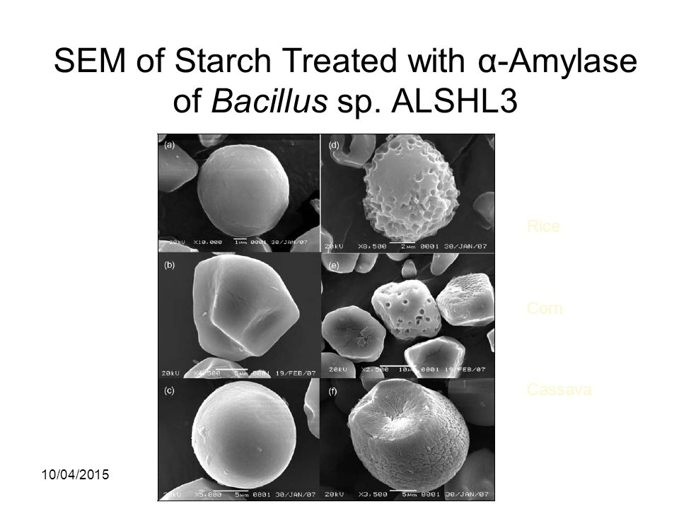 SEM of Starch Treated with α-Amylase of Bacillus sp. ALSHL3