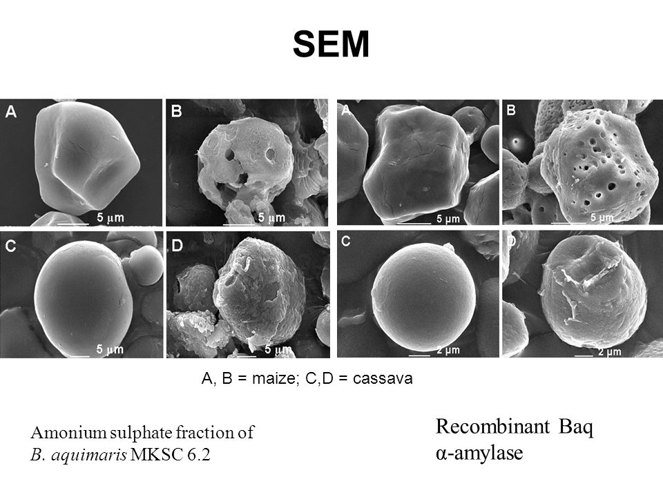 SEM Recombinant Baq α-amylase Amonium sulphate fraction of
