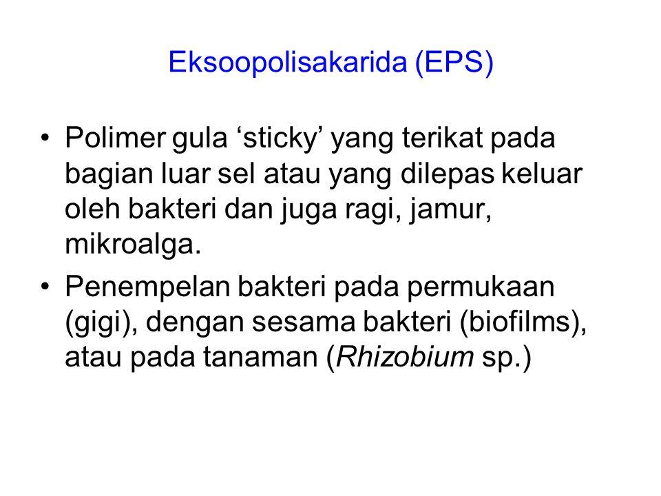 Eksoopolisakarida (EPS)