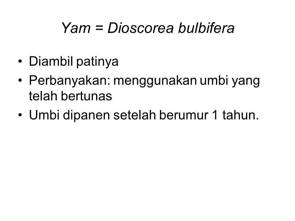 Yam = Dioscorea bulbifera