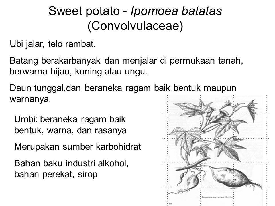 Sweet potato - Ipomoea batatas (Convolvulaceae)