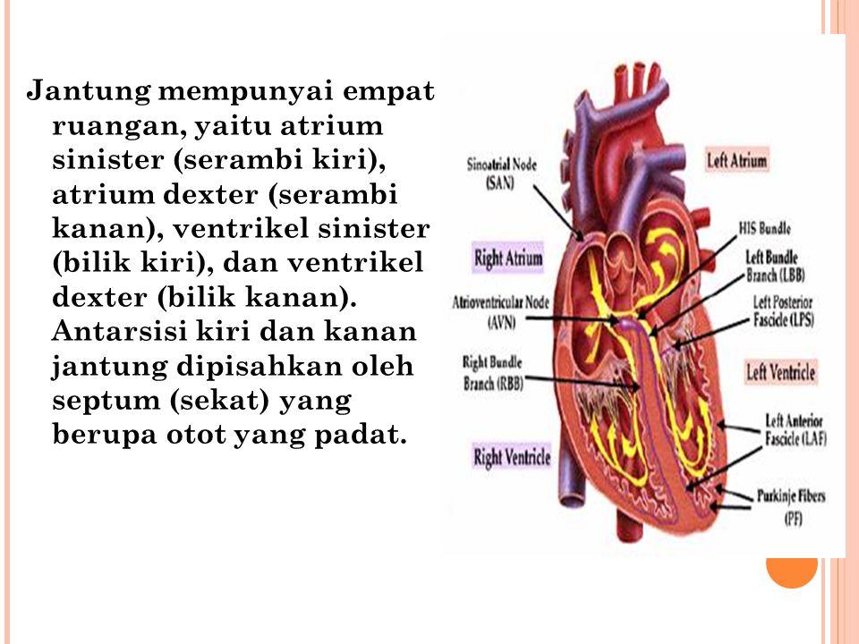 Jantung mempunyai empat ruangan, yaitu atrium sinister (serambi kiri), atrium dexter (serambi kanan), ventrikel sinister (bilik kiri), dan ventrikel dexter (bilik kanan).