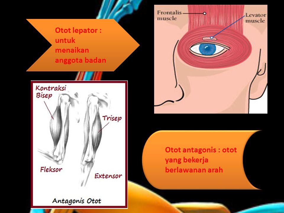 Otot lepator : untuk menaikan anggota badan