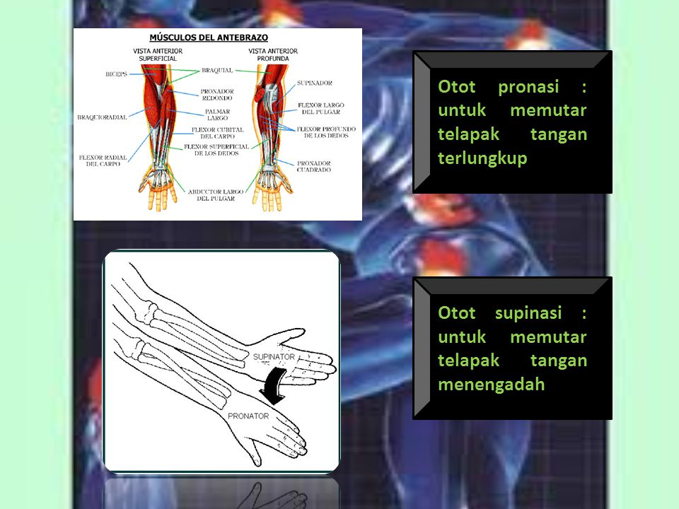Otot pronasi : untuk memutar telapak tangan terlungkup