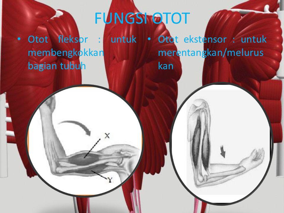 FUNGSI OTOT Otot fleksor : untuk membengkokkan bagian tubuh