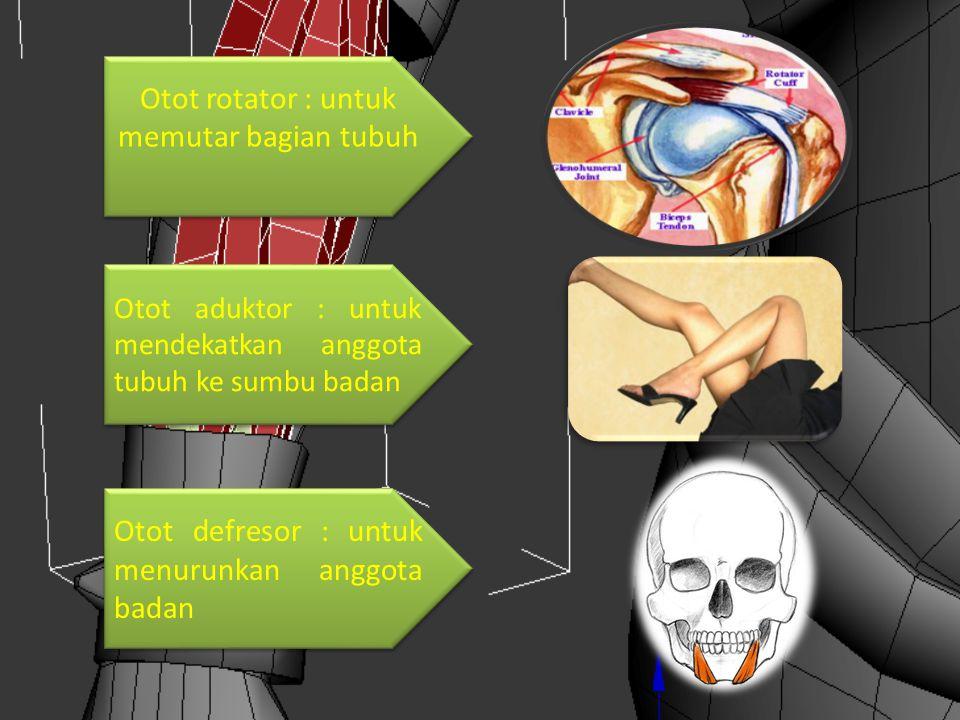 Otot rotator : untuk memutar bagian tubuh