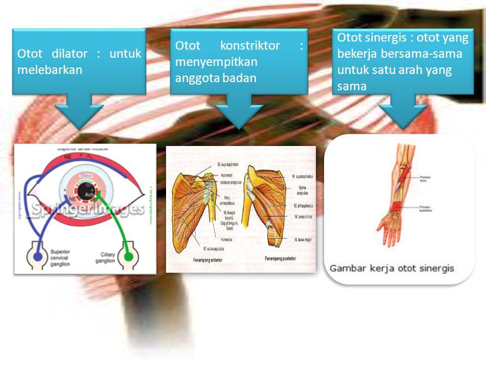 Otot dilator : untuk melebarkan