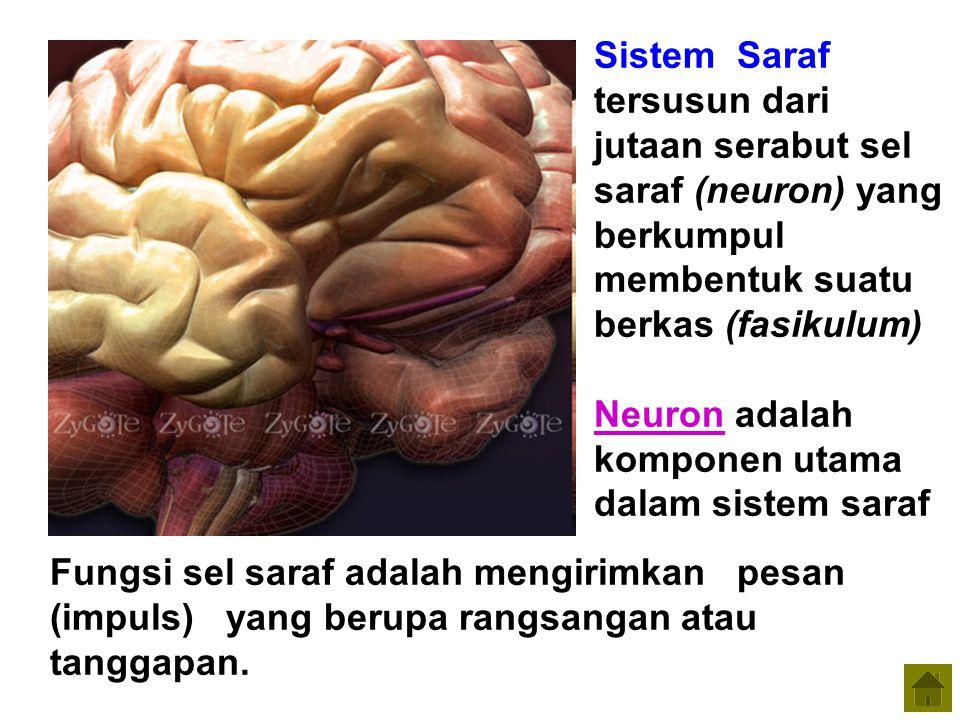 Sistem Saraf tersusun dari jutaan serabut sel saraf (neuron) yang berkumpul membentuk suatu berkas (fasikulum)