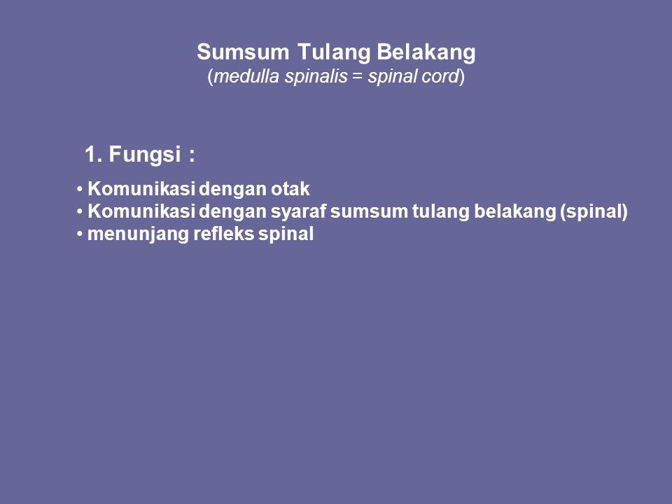 Sumsum Tulang Belakang (medulla spinalis = spinal cord)