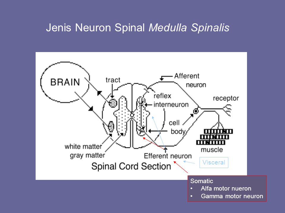 Jenis Neuron Spinal Medulla Spinalis