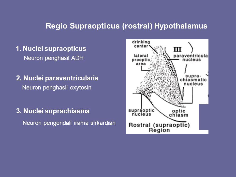 Regio Supraopticus (rostral) Hypothalamus