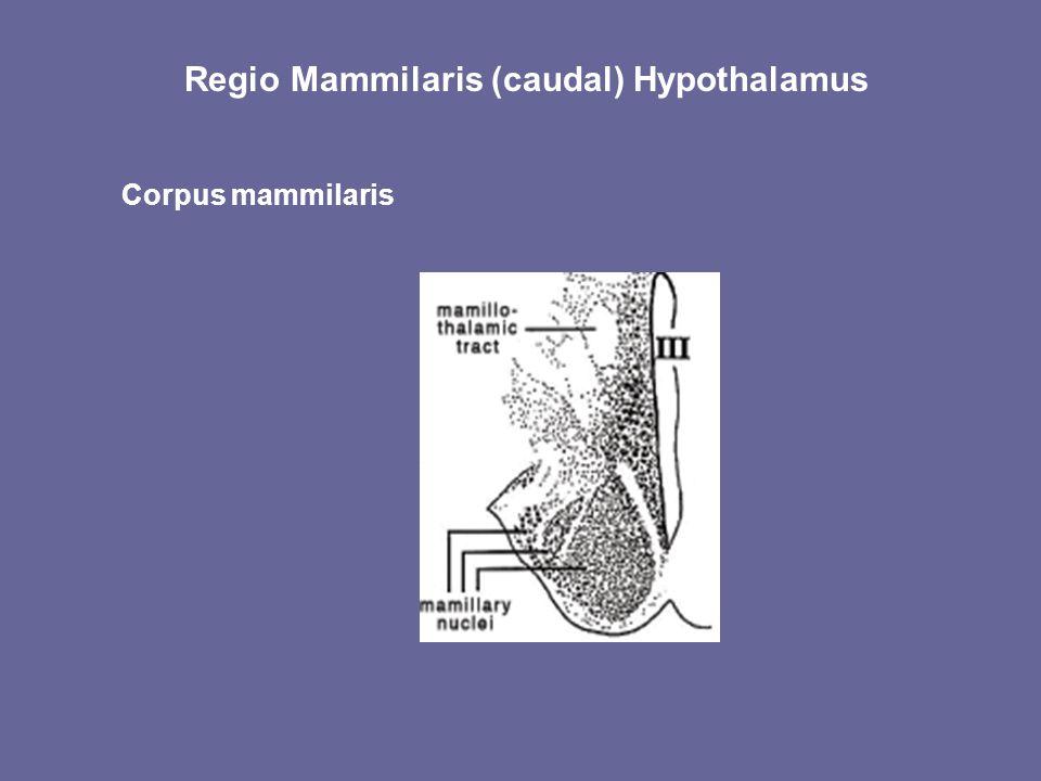 Regio Mammilaris (caudal) Hypothalamus
